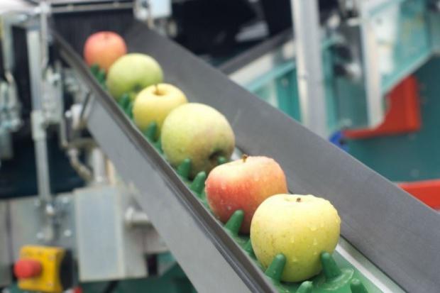 Jabłka grójeckie podbijają rynek. W planach rozwój eksportu