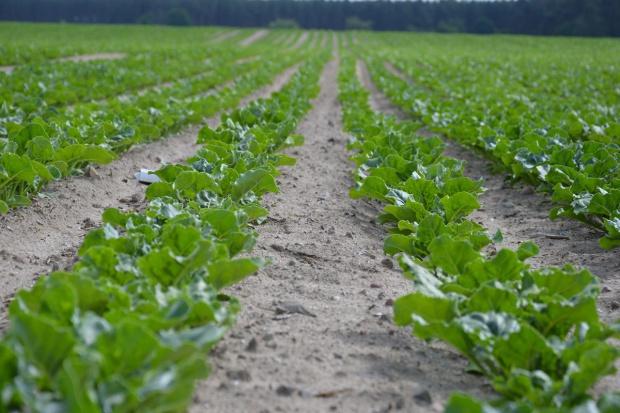 Grupa Südzucker uzyskała certyfikat zrównoważonej uprawy buraków