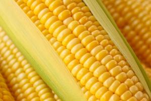 Spadające ceny kukurydzy zagrażają sytuacji producentów ziarna