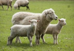 W UE trwa spadkowa tendencja cen jagniąt