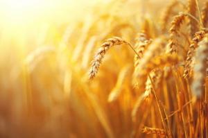 IGC podnosi prognozy światowej produkcji zbóż
