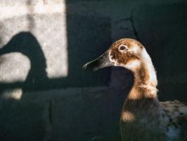 Francja: wirus ptasiej grypy zabił 2 tys. kaczek