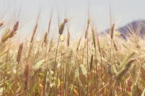 Rosną ceny zbóż na krajowych giełdach