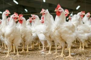 Wzrost eksportu mięsa drobiowego