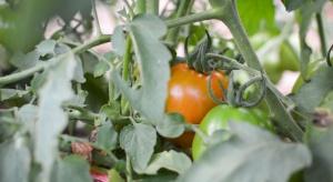Rosną zbiory warzyw szklarniowych w Rosji