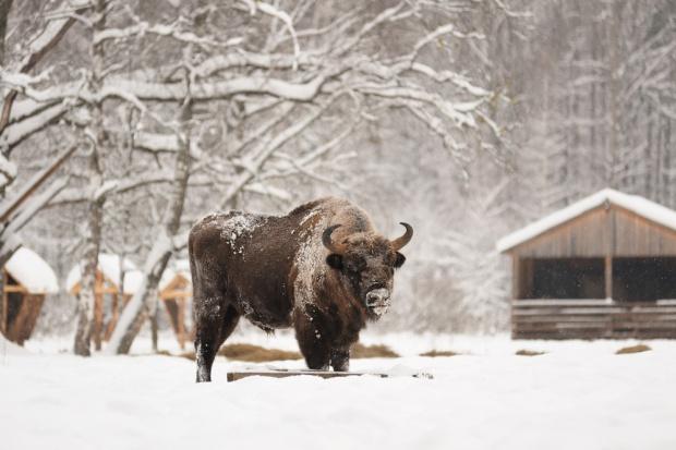 Dokarmianie żubrów: Siano, sianokiszonka i buraki podstawą zimowego menu