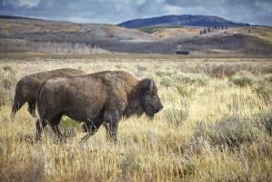 Rośnie popyt na mięso bizona