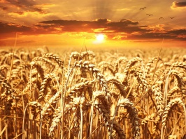 Globalna nadpodaż barierą dla wzrostu cen zbóż - analiza Credit Agricole