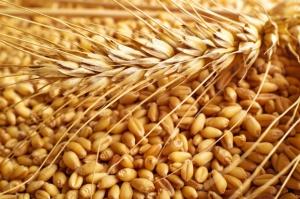 Produkcja kukurydzy w sezonie 2016/17 najniższa od 26 lat