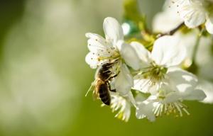 W produkcji pszczelarskiej, od miodu ważniejsze jest zapylanie roślin