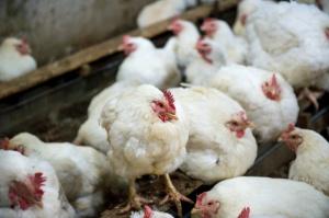 Kraków: Profilaktyka w związku z wystąpieniem ptasiej grypy