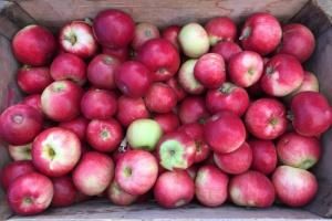 Rosja: Zatrzymano transport polskich jabłek w regionie Smoleńska