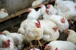 Mazowsze: Wykryto pierwsze ognisko ptasiej grypy u drobiu