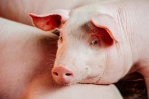 Wzrosła produkcja żywca, mięsa i przetworów wieprzowych dzięki QAFP