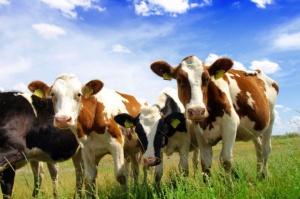 Pogłowie bydła w Polsce najwyższe od 16 lat