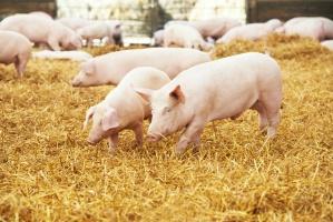 Ceny świń poszły minimalnie w górę