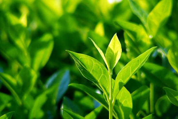 Składnik zielonej herbaty może być lekiem na choroby szpiku kostnego
