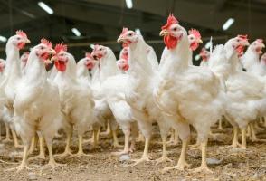 Rosja nie rozpatruje zakazu importu żywego drobiu i jaj z całej Polski