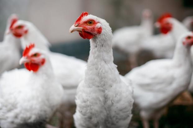 Rosną ceny kurcząt brojlerów w Polsce i Europie