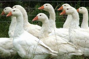 Wielkopolskie: ptasia grypa atakuje gęsi reprodukcyjne