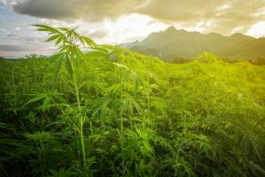 Komisja nie będzie pracować nad petycją SLD ws. medycznej marihuany