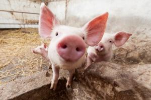 Światowa Organizacja Handlu odrzuciła odwołanie Rosji ws. zakazu importu wieprzowiny z UE