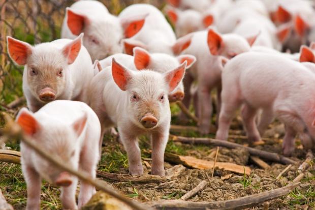 Kiedy rolnicy poszkodowani przez ASF mogą spodziewać się pomocy?
