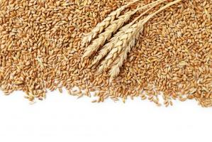 Wczoraj ceny zbóż bardzo spadły, dzisiaj mocno drożeją