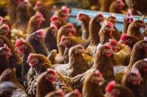 Producenci drobiu muszą się dostosować do nowych unijnych wymagań ochrony środowiska