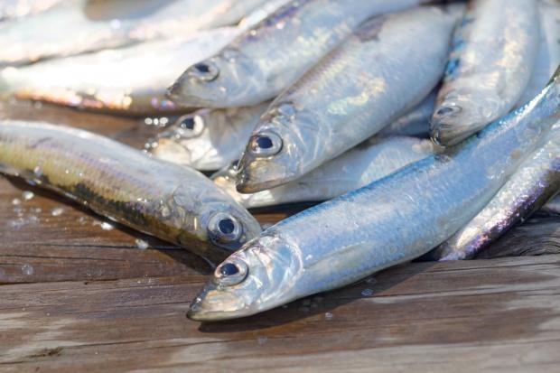 Rybacy znad Zalewu Wiślanego rozpoczęli masowe połowy śledzi