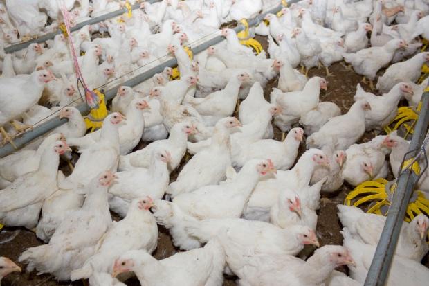 Ptasia grypa negatywna dla cen drobiu i jego eksportu