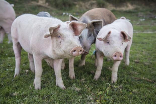 Projekt ws. pomocy dla gospodarstw rezygnujących z hodowli świń przez ASF