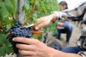 Tegoroczne mrozy mogą mieć wpływ na wysokość przyszłych plonów w winnicach