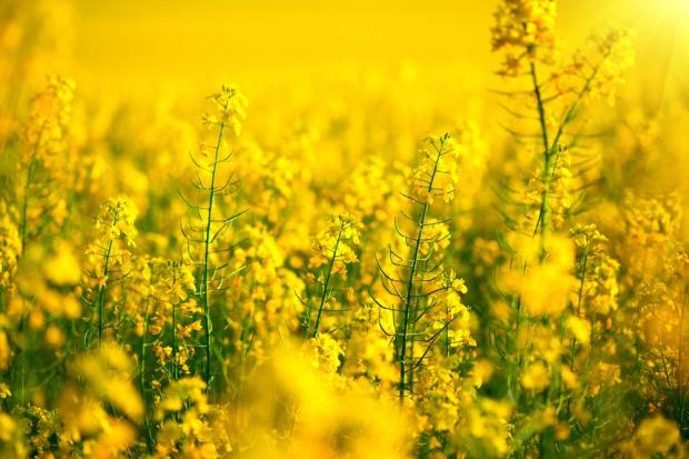 DG Agri prognozuje w 2017 roku 8,6% wzrost produkcji oleistych