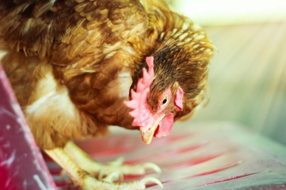 Ptasia grypa: UE wprowadza zasady regionalizacji w handlu drobiem z USA