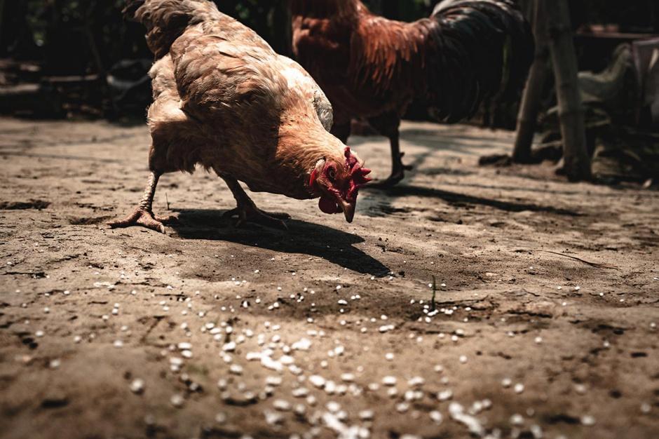 Rynek mięsa: Grypa krzyżuje plany drobiarzy