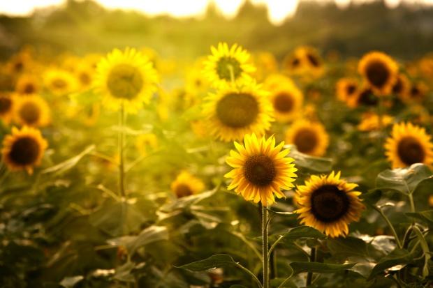 Ukraina oczekuje rekordu w eksporcie oleju słonecznikowego