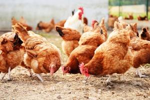 MRiRW chce złagodzić przepisy dotyczące bioasekuracji