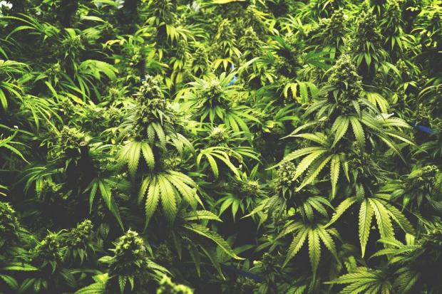 W Kanadzie powstał fundusz inwestujący w produkcję marihuany
