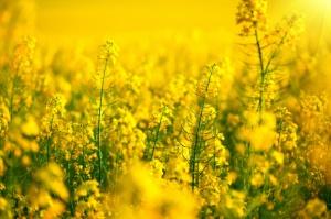 Niewielkie straty zimowe w uprawach zbóż ozimych i rzepaku