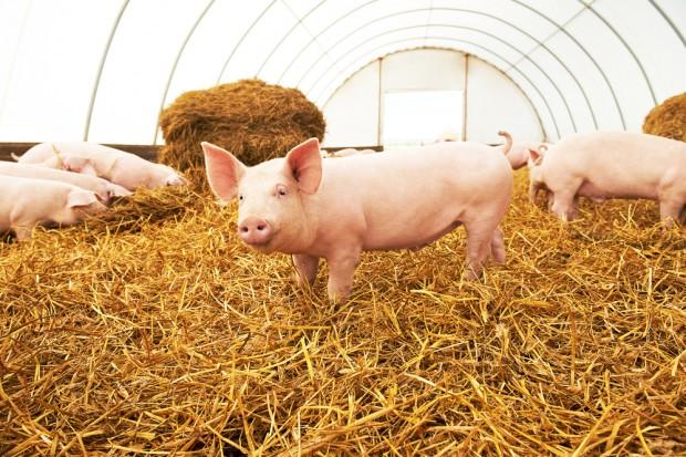 Wsparcie z UE dla polskich hodowców z powodu ASF - 0,83 mln euro