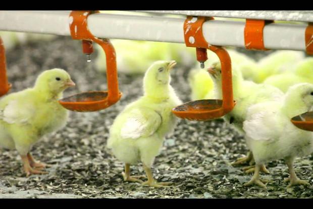 Największy ukraiński producent drobiu chce otworzyć drugi zakład w UE