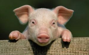 Smithfield Foods chce hodować ludzkie tkanki ze świńskich resztek