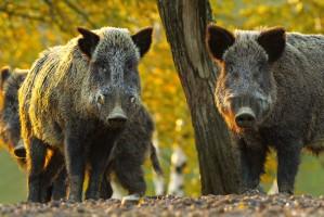 KRIR interweniuje ws. szkód wyrządząnych przez dziką zwierzynę