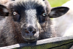 Podhalańscy hodowcy owiec chcą interwencyjnego skupu jagniąt