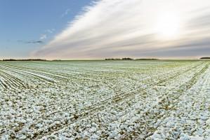 Nagły powrót zimy może zagrozić uprawom