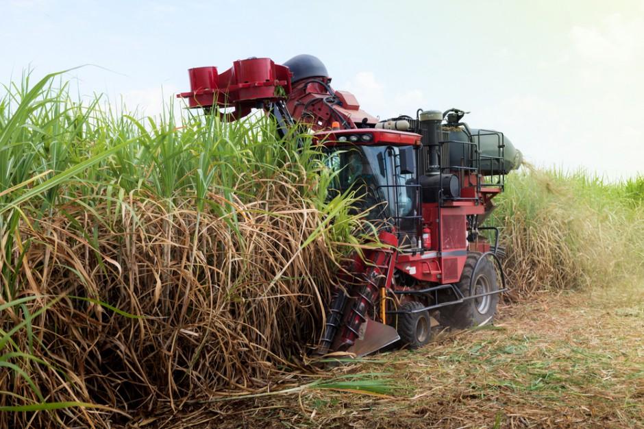 Portugalia: Rekordowa produkcja trzciny cukrowej