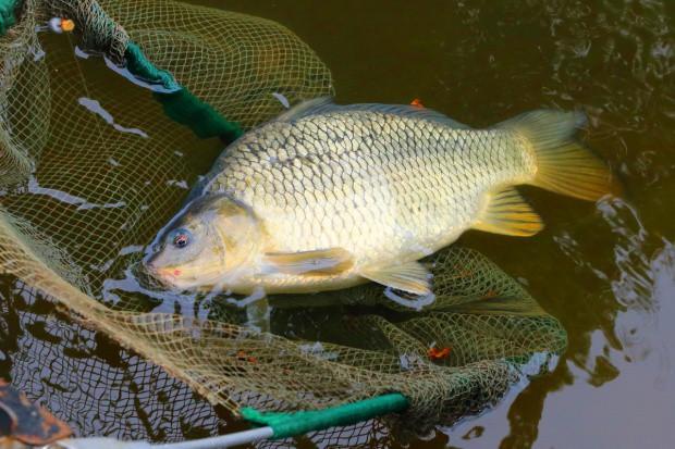 Hodowcy ryb śródlądowych nie składają broni w sprawie rekompensat