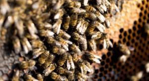 W Kotlinie Jeleniogórskiej masowo wyginęły rodziny pszczele