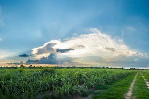 Portugalia zanotowała rekordową produkcją trzciny cukrowej